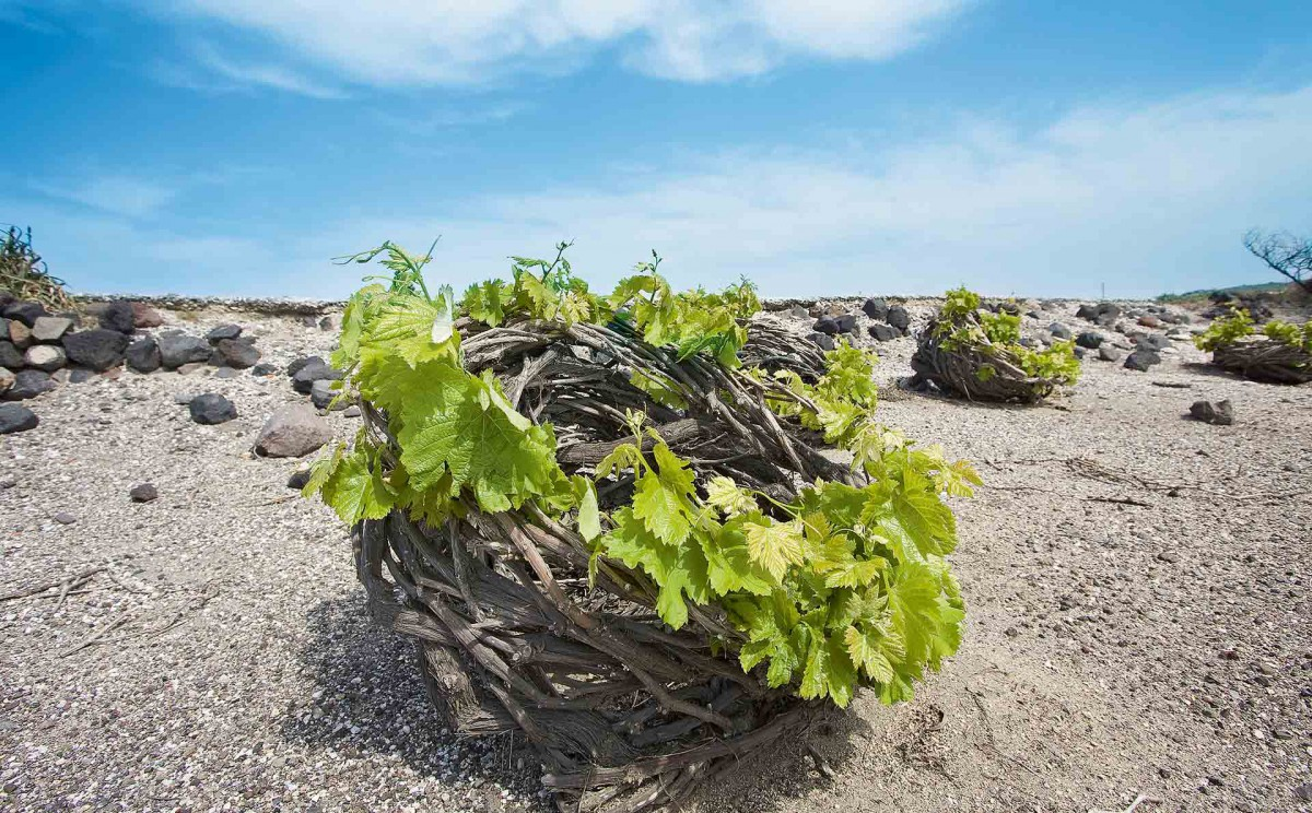 "The technique of pruning the Santorini vines is age-old and is known in Greek as ""kouloura."" © Shutterstock"