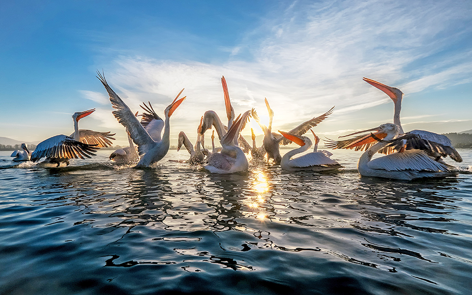 PELICANS_LAKE_KERKINI_01