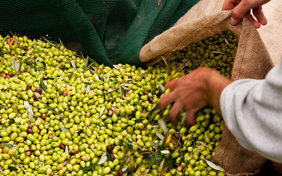 greece_blog_olives_harvest