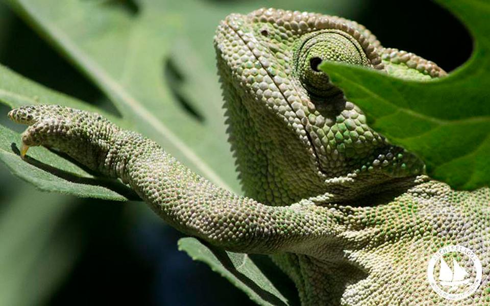 chameleon-samos