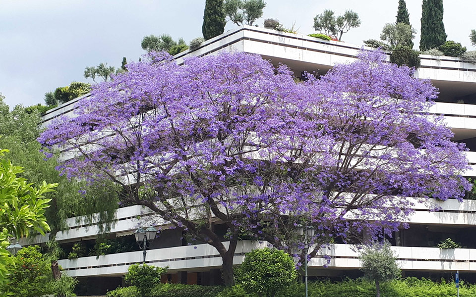 Rediscovering The Jacaranda Trees Of Athens Greece Is